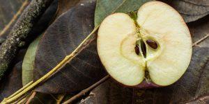 Медики сообщили, чем опасны семена яблок
